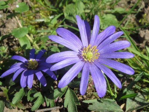 anemone blanda balkan anemone grecian windflower