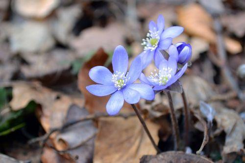 anemone hepatica liverwort flower