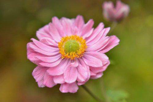 anemone japanese  anemone japonica  flower