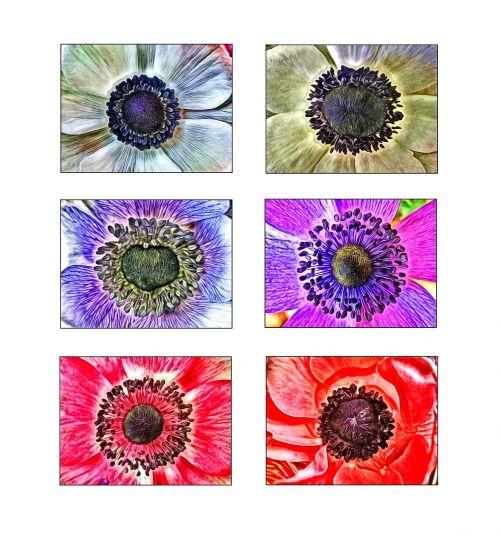 anemones flowers collage