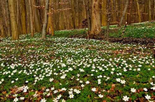 anemones forest spring