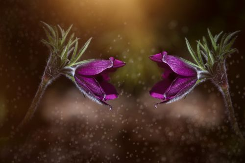 anemones purple violet