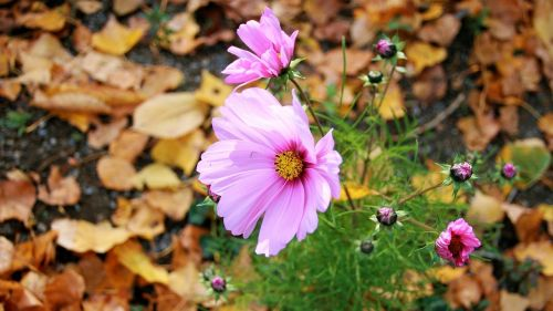 anemones autumn flowers autumn