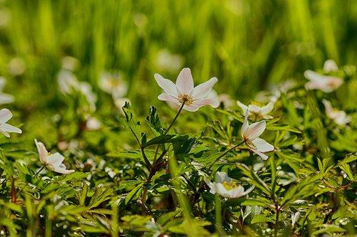 anemones  flower  white