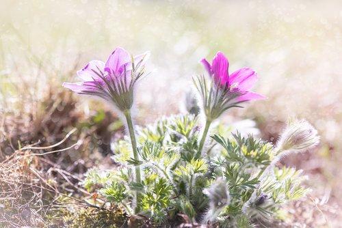 anemones  flowers  purple
