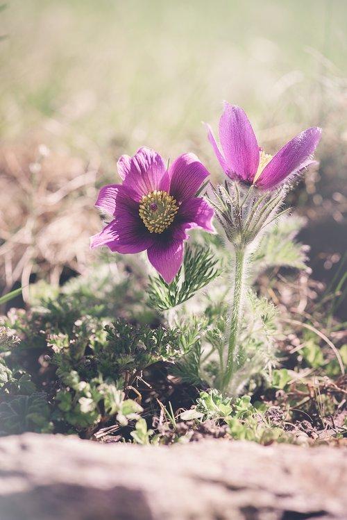 anemones  purple  purple anemones