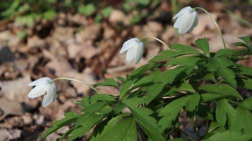 anemones  flowers  wild