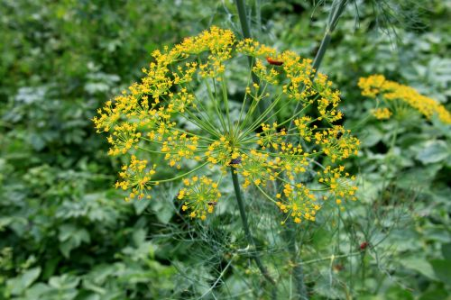 anethum apiaceae dill