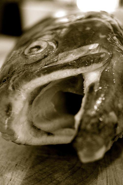 angel fish fish mouth
