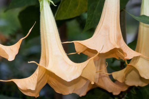angel trumpets brugmansia genus