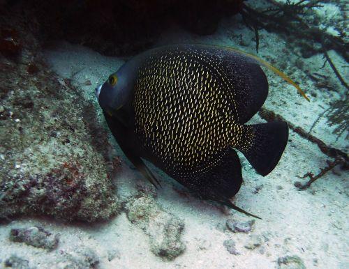 angelfish aruba scuba