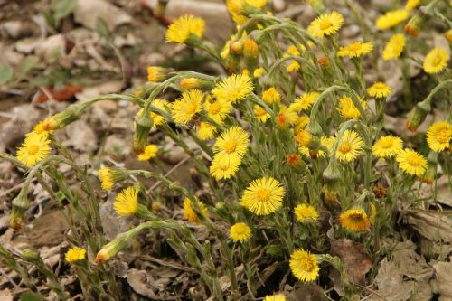 angiosperms coltsfoot edge