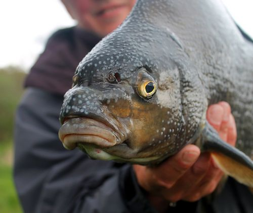angler bream fish