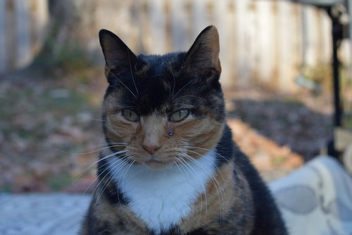 angry  calico  cat
