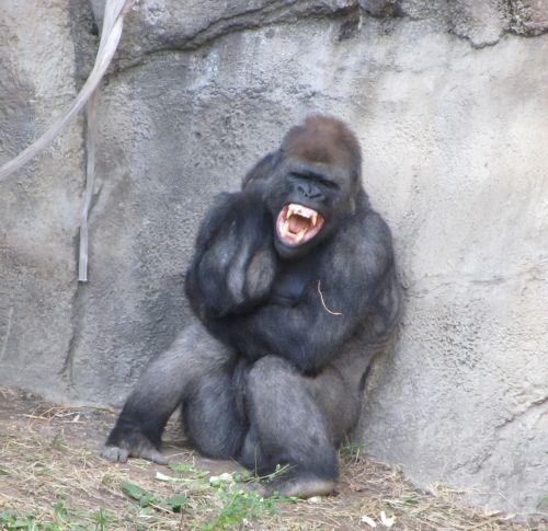 angry gorilla fangs teeth