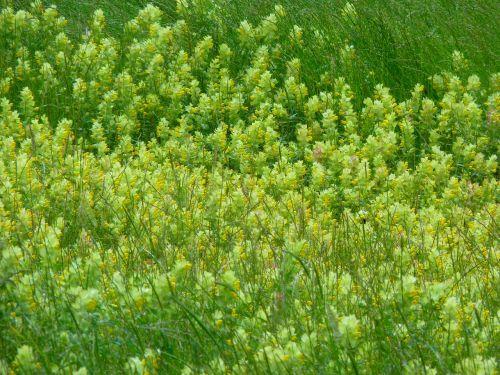 angustifolius flower yellow