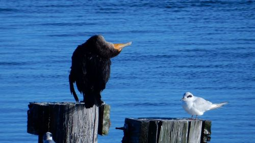 anhinga snakebird gull