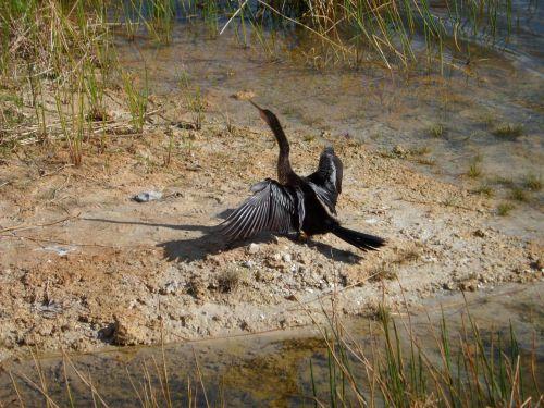 anhinga water bird nature