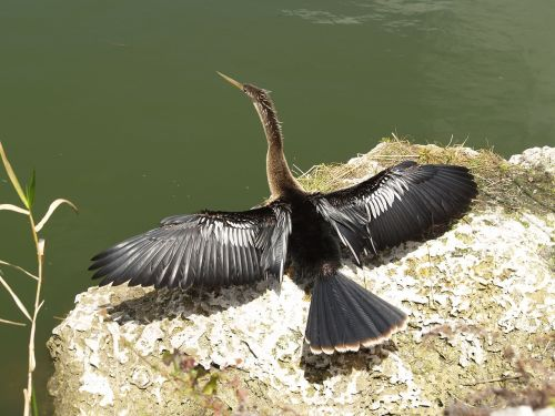 anhinga snakebird darter