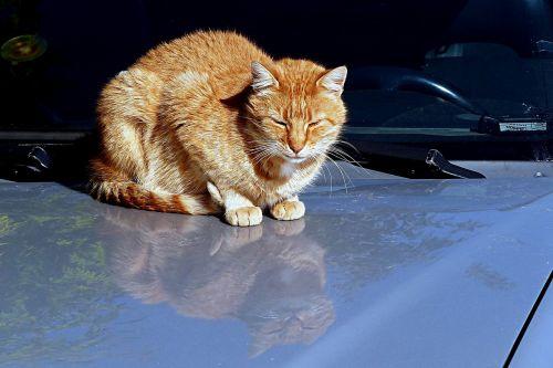 animal cat domestic cat