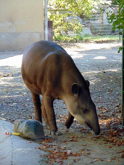 animal tapir zoo