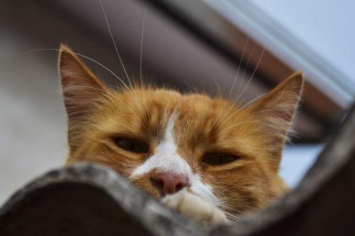 cat ginger animal portrait