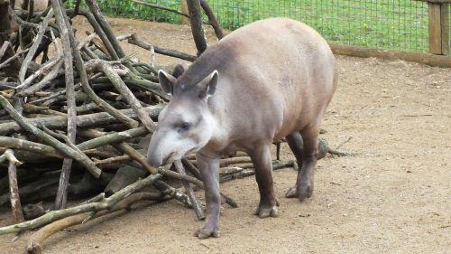 animal zoo tapir