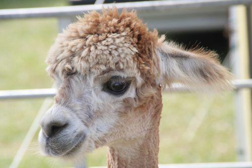 animal llama young