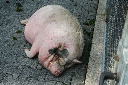 animal pig happy pig