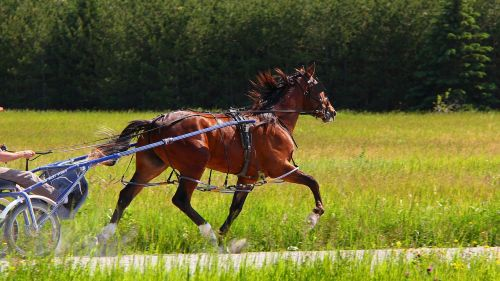 animal,horse,standardbred,brown,bay,harness,harness racing,reins,pacer,equine,sports,performance,outside,pacing,pace,track,racetrack