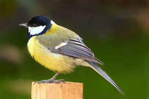 animal bird tit