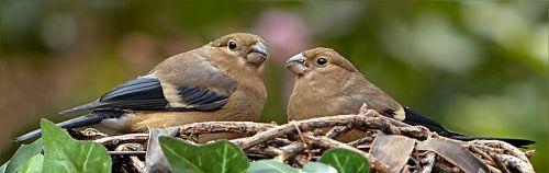 animal bird gimpel