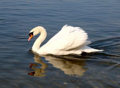 animal swan pride