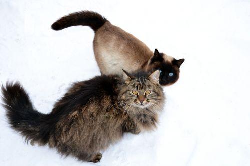 animal furry siberian cat