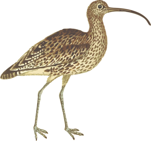 animal bird curlew