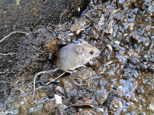 gyvūnas,graužikas,pelė,gyvūnai