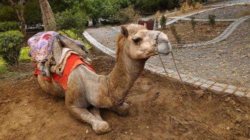 animal camel nature
