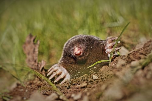 animal mole garden