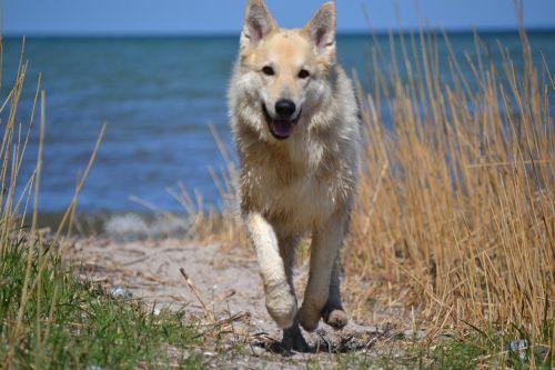 animal dog sled dog hybrid