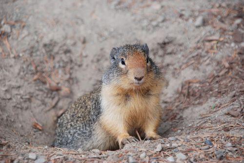 animal squirrel ground squirrel