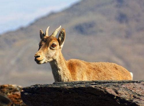 animal mouflon wild