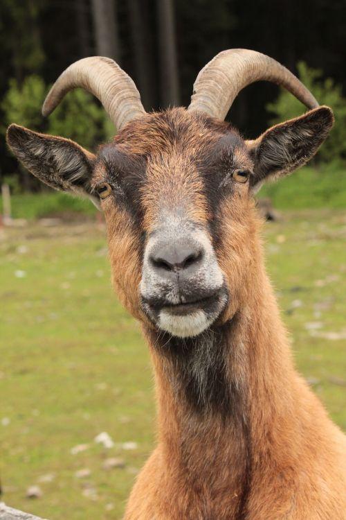 animal corners goat
