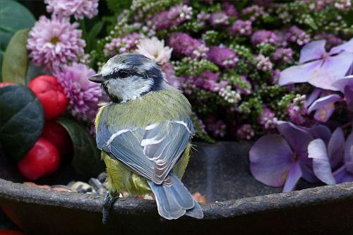 animal bird blue tit
