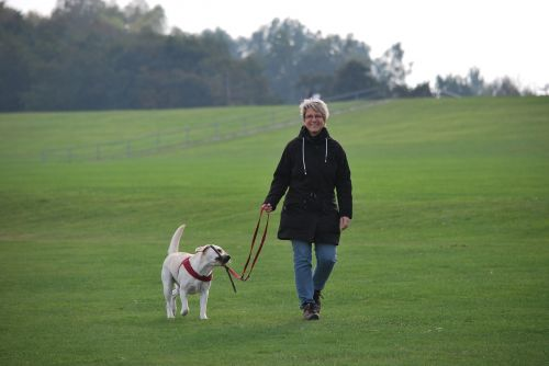 animal dog labrador