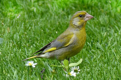 animal bird greenfinch
