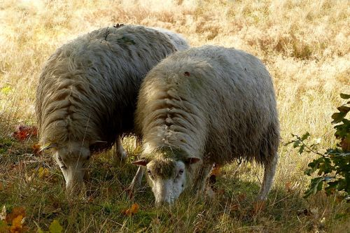 animal livestock sheep