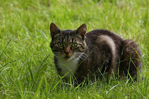 animal mammal cat
