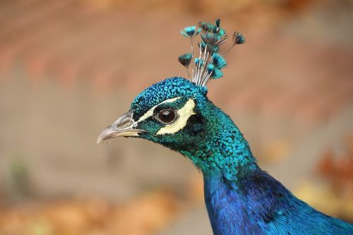 animal bird peacock