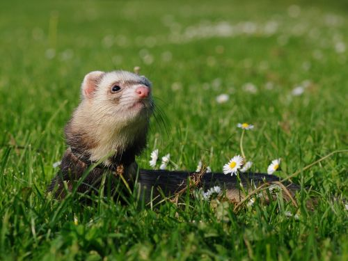animal ferret domesticated