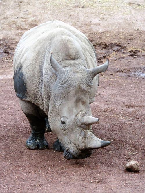 animal rhino horn